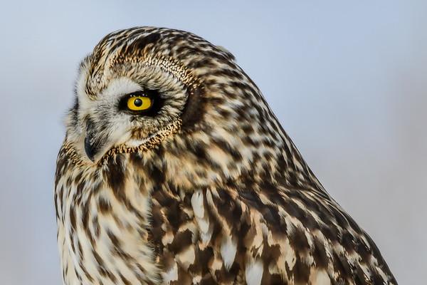 2-25-19 Short-eared Owl