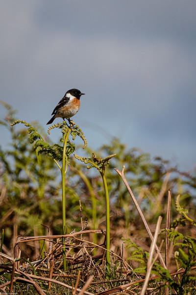 Stonechat on Bracken