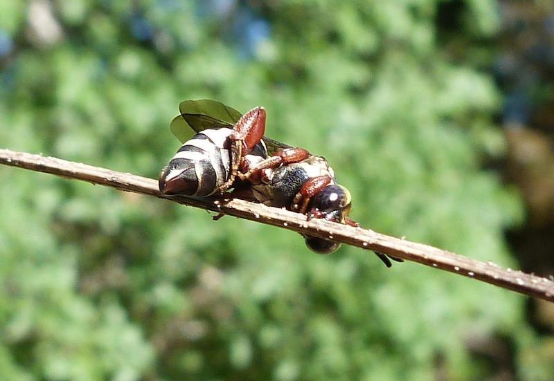P102TriepeolusCuckooBee128 April 28, 2011  9:10 a.m.  P1020128 Triepeolus sp. Cuckoo Bee at LBJ WC, sleeping on grass stem.  Apid.