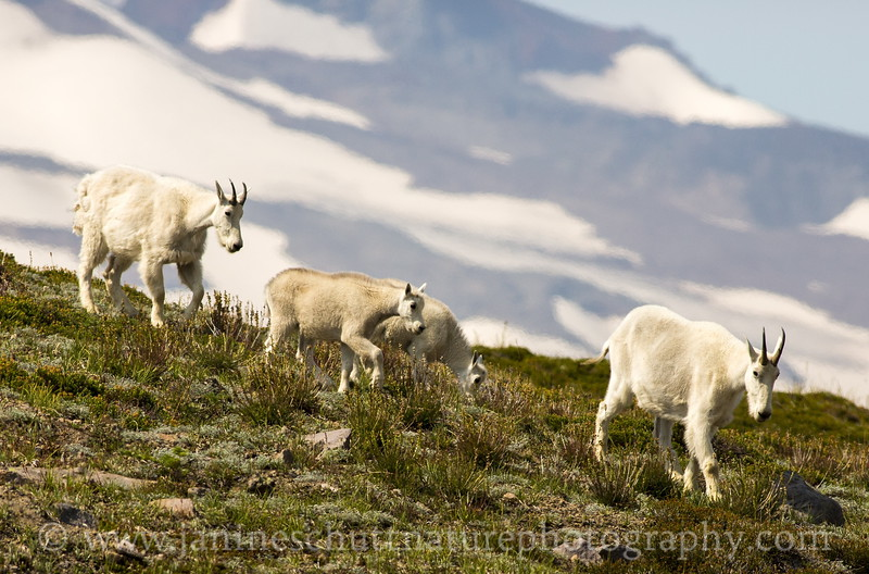 Mountain Goat family passing by the Wonderland Trail near Frozen Lake.