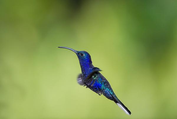 Violet Sabrewing Hummingbirds