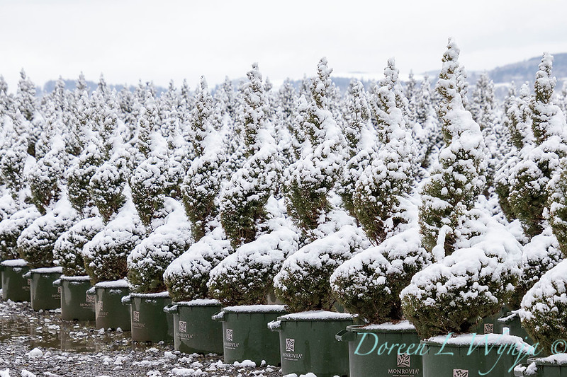 Picea glauca 'Conica' spirals - can yard in snow_4117.jpg