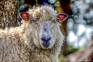 Greeting Cards - Sheep