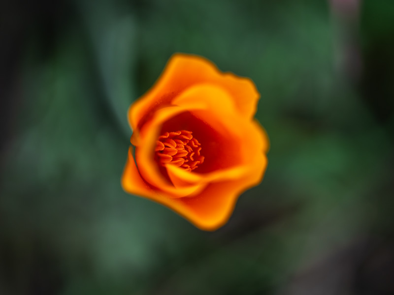 The Tao of the Poppy #5: The Tao of the California Poppy Wildflower Superbloom  Dr. Elliot McGucken Fine Art Landscape Nature Photography Superbloom Prints & Luxury Wall Art