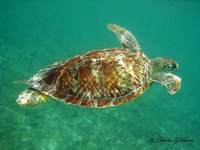 Sea Turtles & Stingrays at Saint John