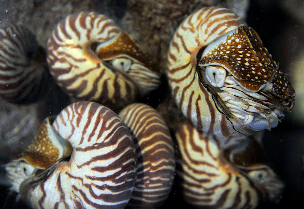 . 5/14/13- The Aquarium of the Pacific\'s Wonders of the Deep gallery opens May 24. Among the new animals will be these Chambered Nautilus. Photo by Brittany Murray / Staff Photographer