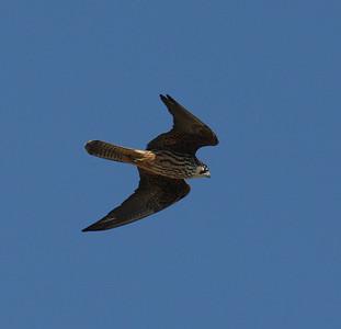 Välimerenhaukka (Falco eleonorae)