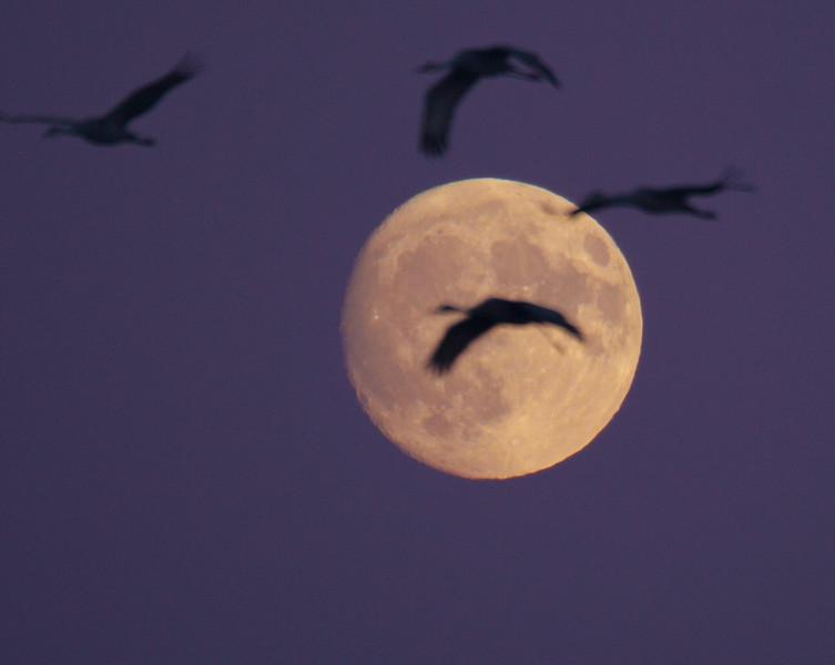 Sandhill Crane full moon fly in flight Crex Meadows Grantsburg WI P1044352.jpg