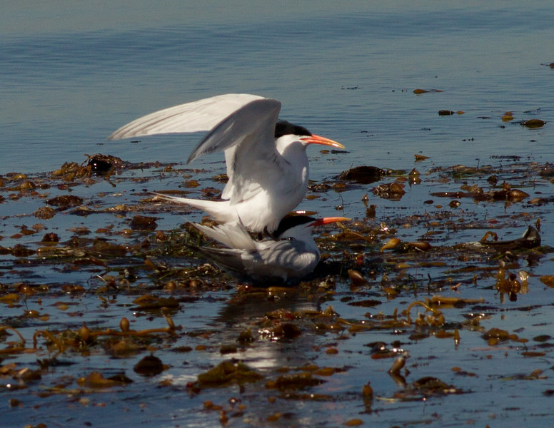 Elegant Tern  San Diego Waters 2014 04 02-1.CR2