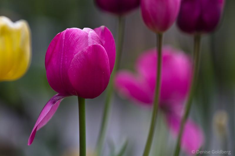 tulip unfolding