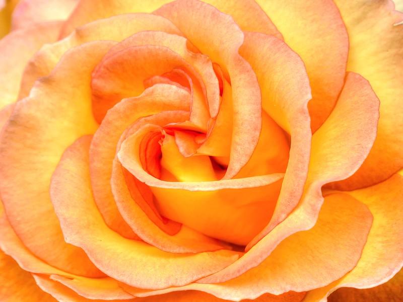 Yellow Orange Rose