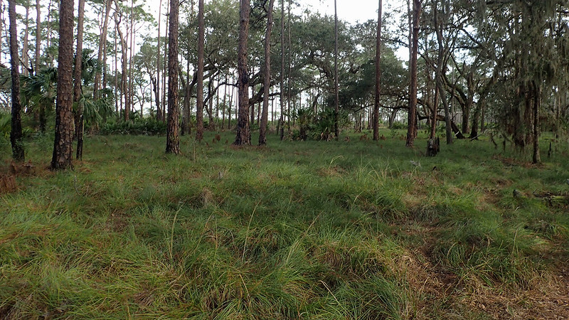 Grassy area under pines