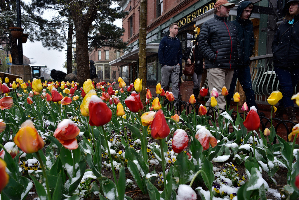 . People walk past snow covered tulips on Pearl Street in Boulder, Colorado, Saturday, April 16, 2016. Heavy wet snow is expected to continue falling through the end of the weekend in Denver and Boulder, according to the National Weather Service.  (Brenden Neville/Special to the Denver Post)