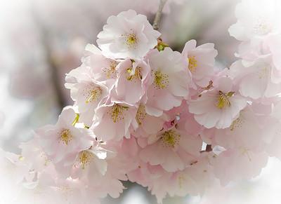 Cherry Blossoms in Vienna