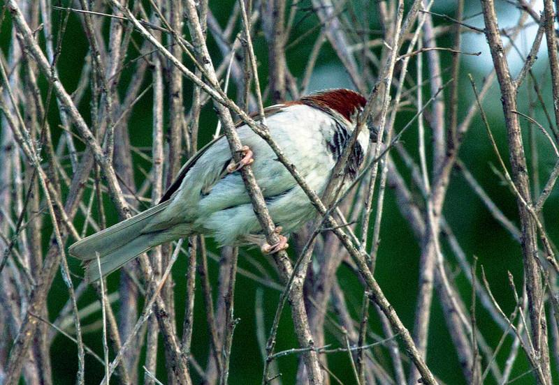 sparrowinleaflessbush.jpg