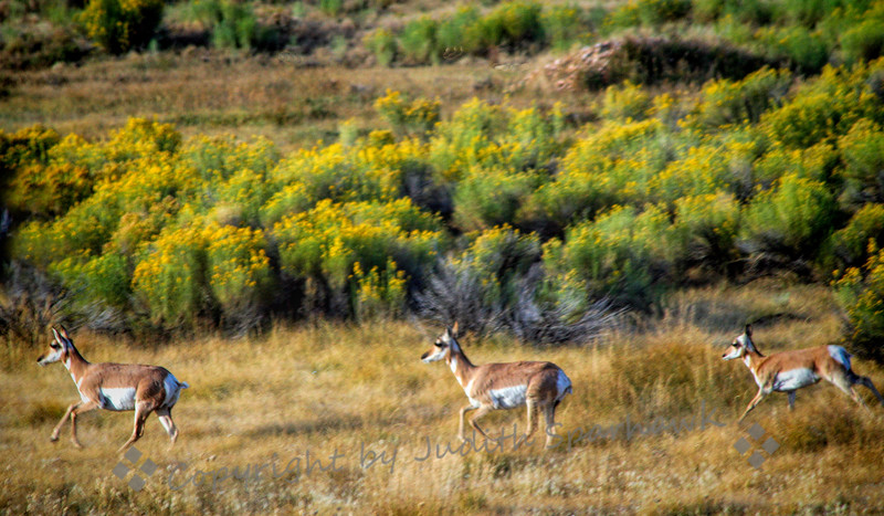 Pronghorn in the Morning