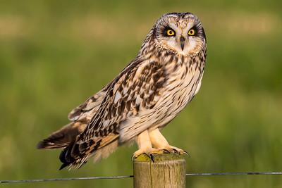 MOSEHORNUGLE - Short-eared owl (Asio flammeus)