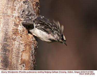 Downy Woodpecker J61063.jpg