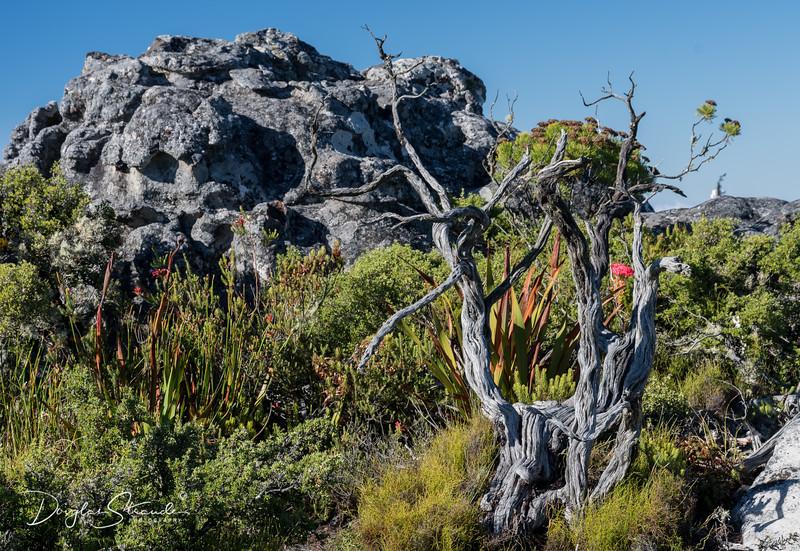 Table Mountain Vegitation
