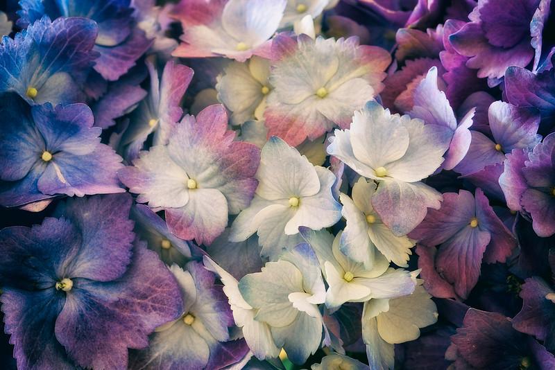 multicolor-hydrangeas.jpg