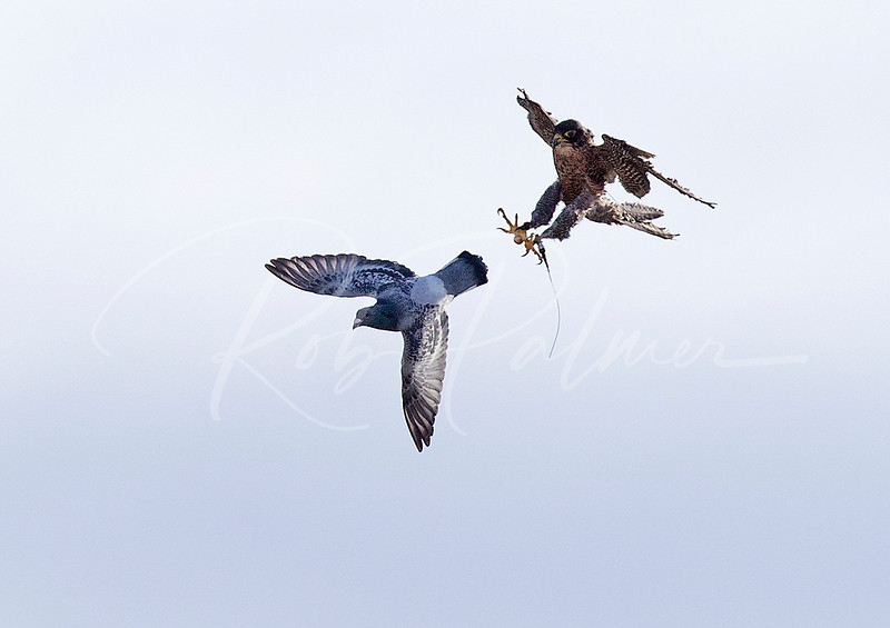 Falcon attempting to catch a pigeon.  Note how blurry the wings of the falcon are even at 1/4000 second.
