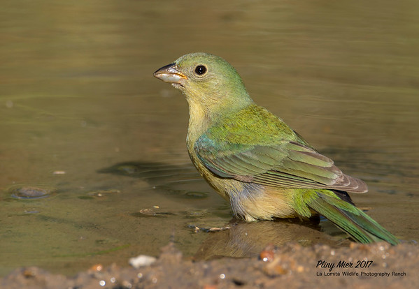 Painted Bunting female.jpg