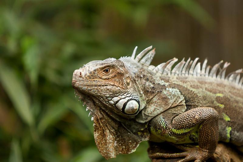 Iguana verde 001.JPG