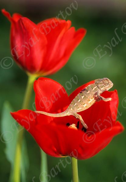 Mediterranean chameleon (Chamaeleo chamaeleon) זיקית מובהקת