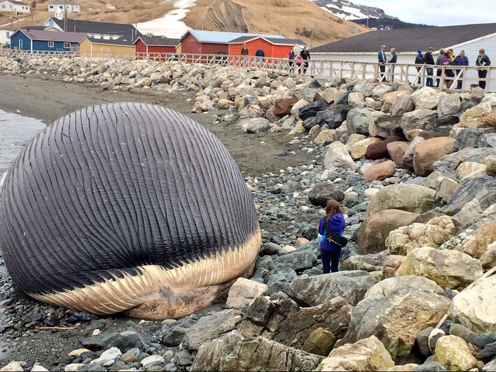 """. <p><b> Residents of a Western Newfoundland town for the past week have been dealing with a most foul stench coming from � </b> <p> A. The carcass of a beached blue whale <p> B. A fish kill <p> C. New Jersey <p><b><a href=\'http://www.telegraph.co.uk/news/worldnews/northamerica/canada/10797636/Bloated-whale-carcass-could-explode.html\' target=\""""_blank\""""> LINK </a></b> <p>   (AP Photo/NTV News via The Canadian Press, Don Bradshaw)"""