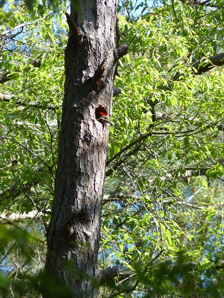 Boyd's Pileated Woodpeckers