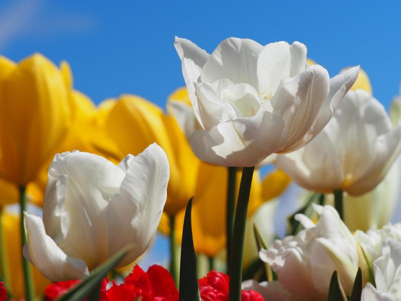 Tulips 03.jpg