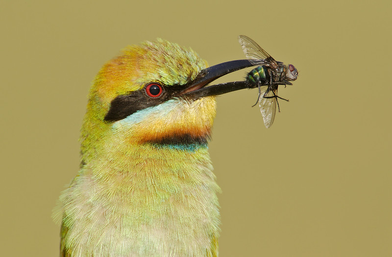 Rainbow bee-eaters 4.jpg