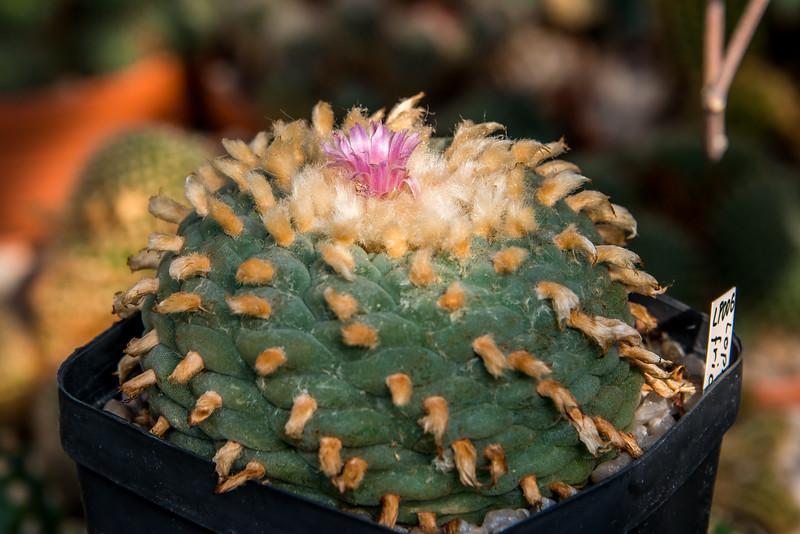 Lophophorafricii