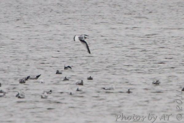 2011-11-20 Riverlands Migratory Bird Sanctuary