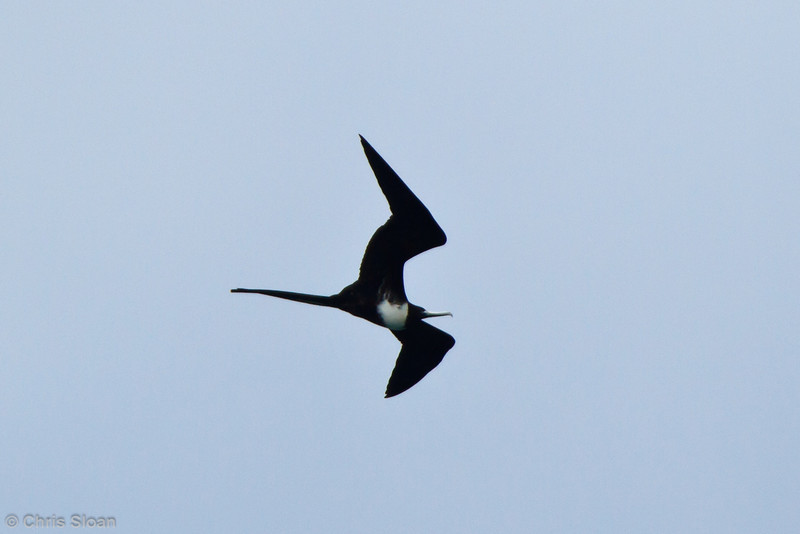 Magnificent Frigatebird female at Baltra, Galapagos, Ecuador (11-19-2011)-52.jpg