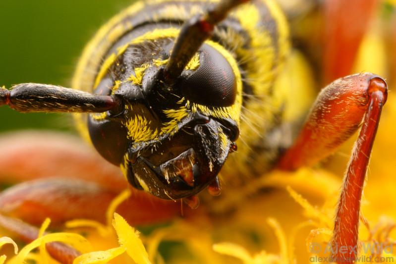 Megacyllene robiniae - Locust Borer. Champaign, Illinois.  filename: Megacyllene4