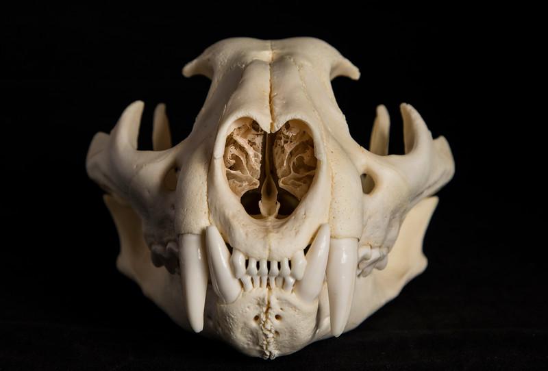 Anterior View Male Mountain Lion Skull