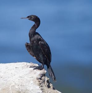Pelagic Cormorant Phalacrocorax pelagicus