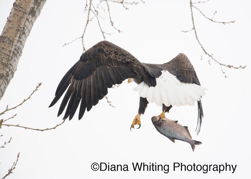 Bald Eagle 28.jpg