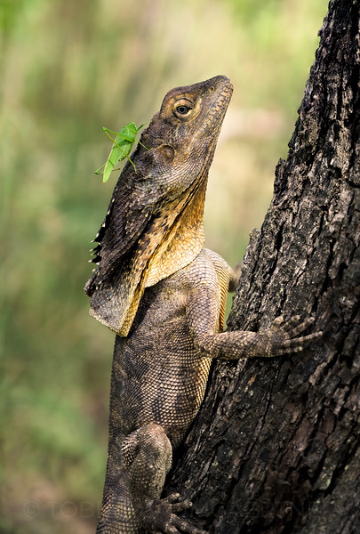 Predator Prey - Frillneck Lizard