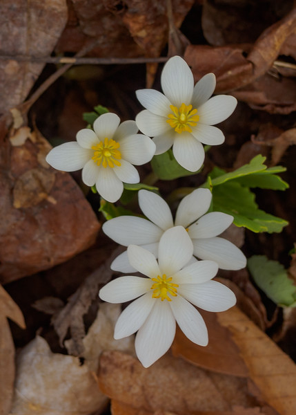 Bloodroot (Sanguinaria canadensis) flowers seen at Potato Creek State Park, North Liberty, IN