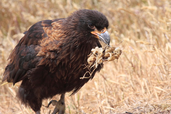 Striated CaraCara Falklands