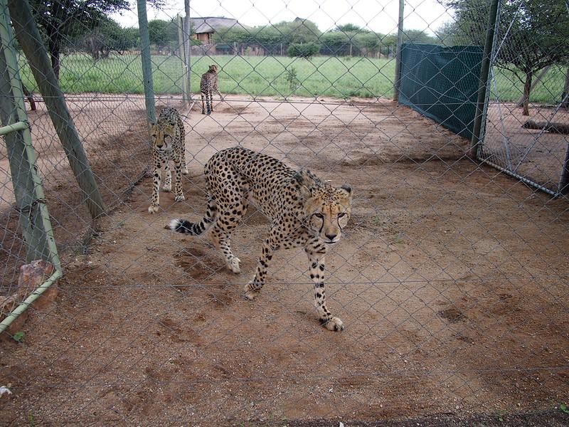 P3270961-prowling-cheetahs.JPG