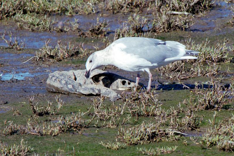 Seagull feeding on dead Sturgeon