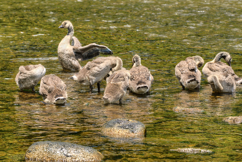 A family of geese play in the river south of the dam at South Holston Lake near Bristol, TN on Monday, June 3, 2013. Copyright 2013 Jason Barnette