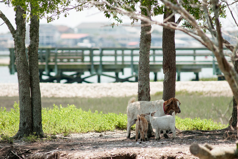 """Some of the goats on the locally-named """"Goat Island"""" in Murrells Inlet, SC on Thursday, May 12, 2016. Copyright 2016 Jason Barnette"""