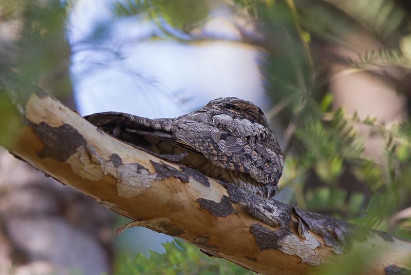 Savannah Nightjar - Pench National Park, Madhya Pradesh, India