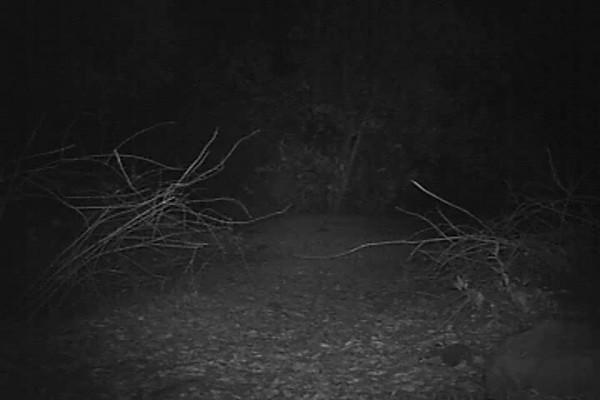 Raccoon 701 PM-Segment1(00-00-21-00-00-59).avi