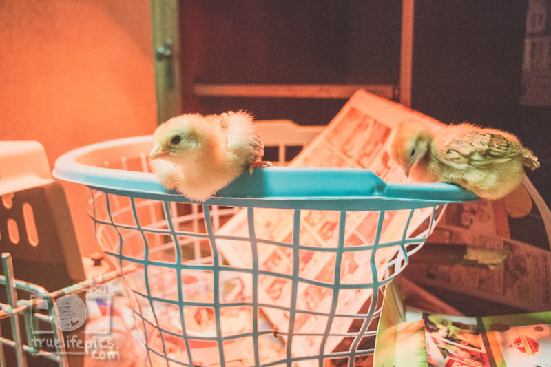 March 27, 2017 Chickens in the shop (5).jpg