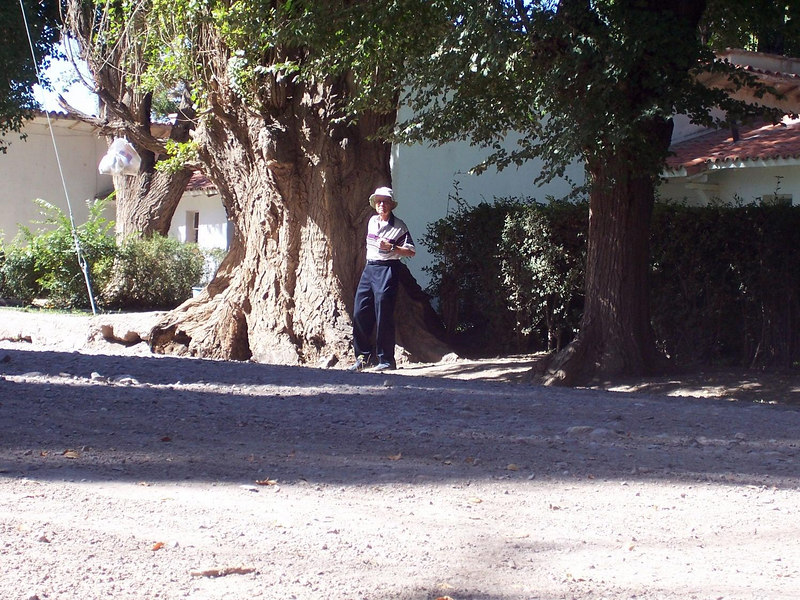 A very big poplar tree in Uspallata.